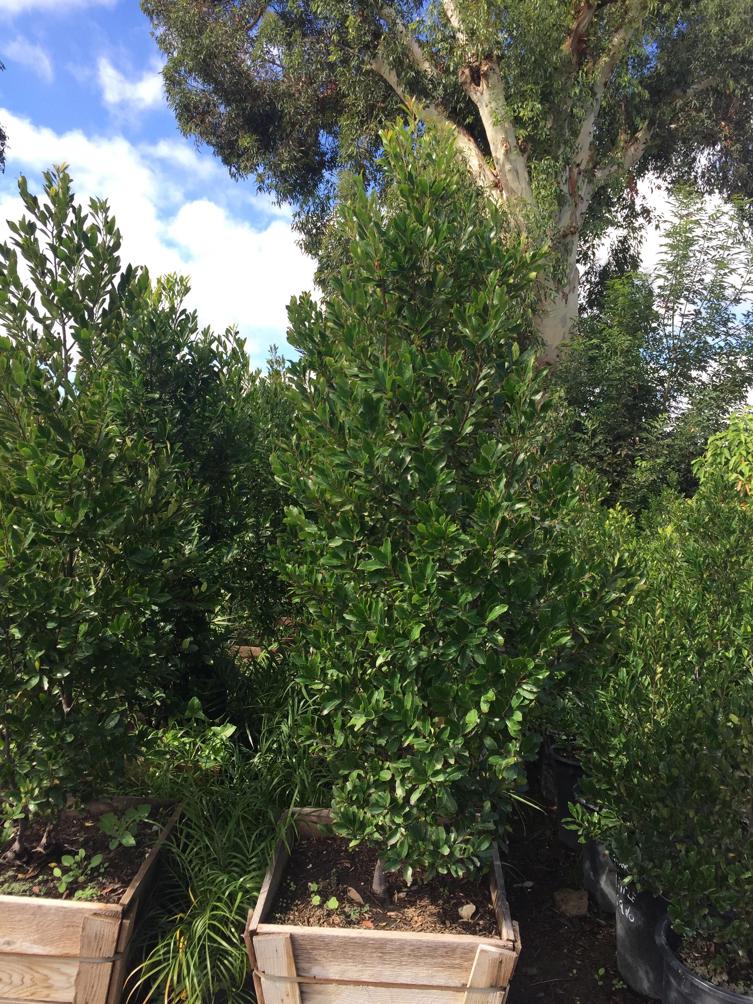 """24"""" box - Prunus caroliniana 'Compacta'"""
