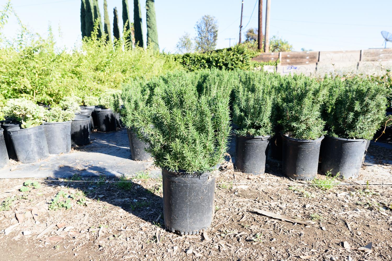 5 gal - Rosemary officinalis 'Upright' - Upright Rosemary