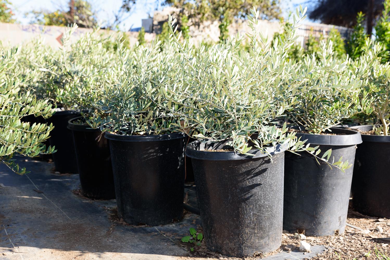 5 gal - Acacia redolens 'Lowboy'