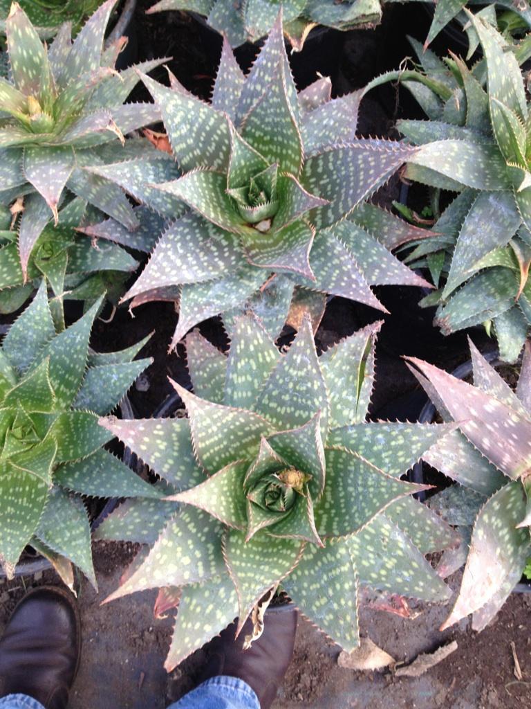 5 gal - Aloe saponaria - Soap Aloe