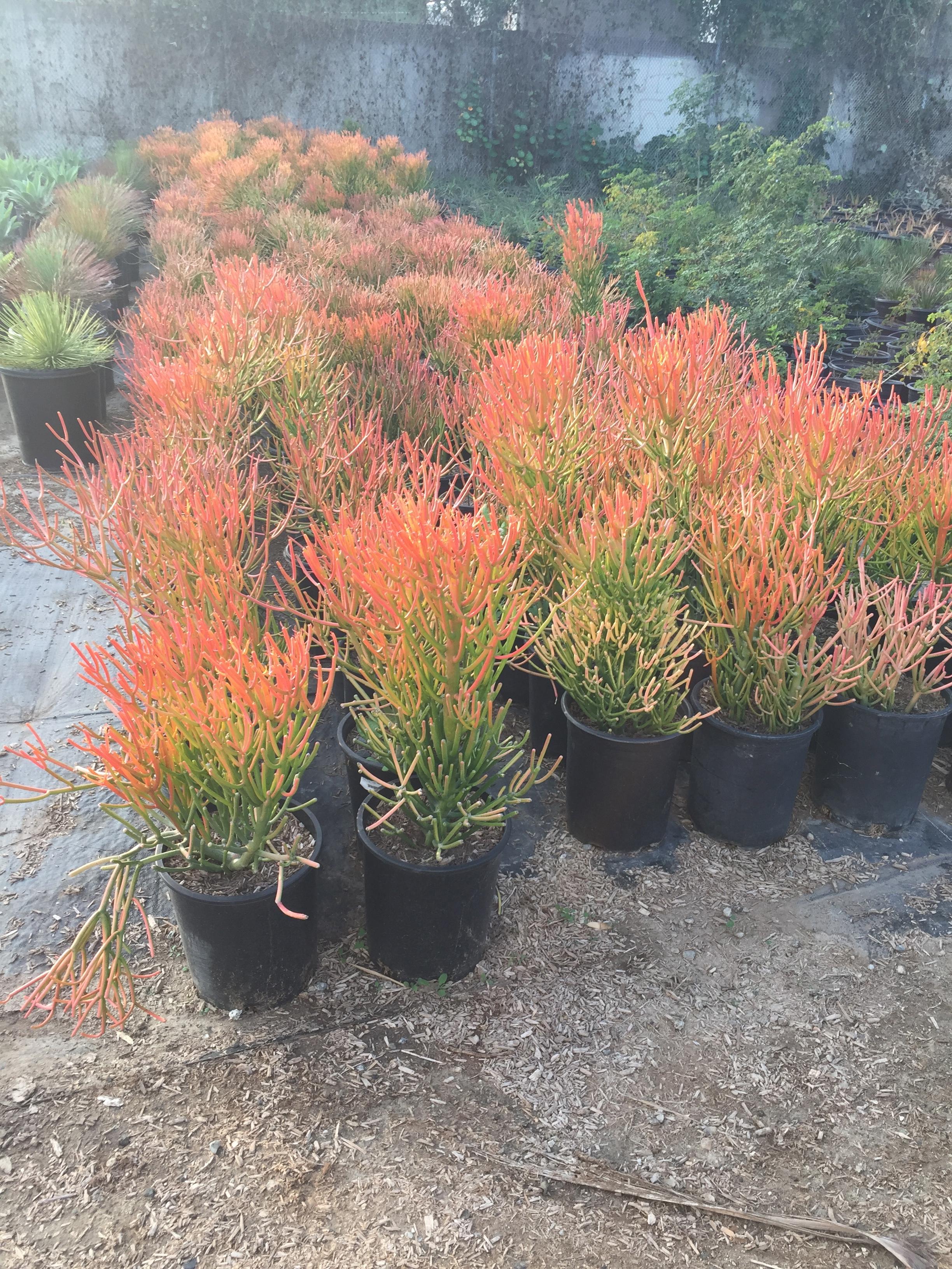 15 gal - Euphorbia tirucalli - Firesticks