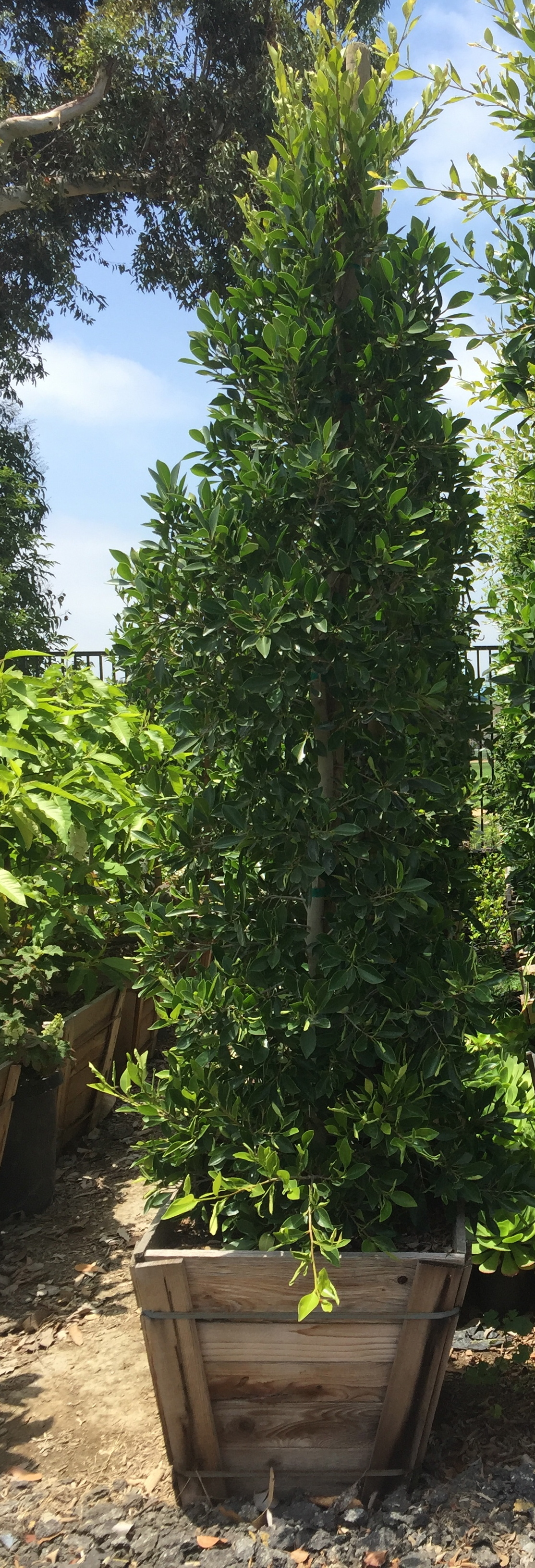 "24"" box - Ficus nitida - Column"