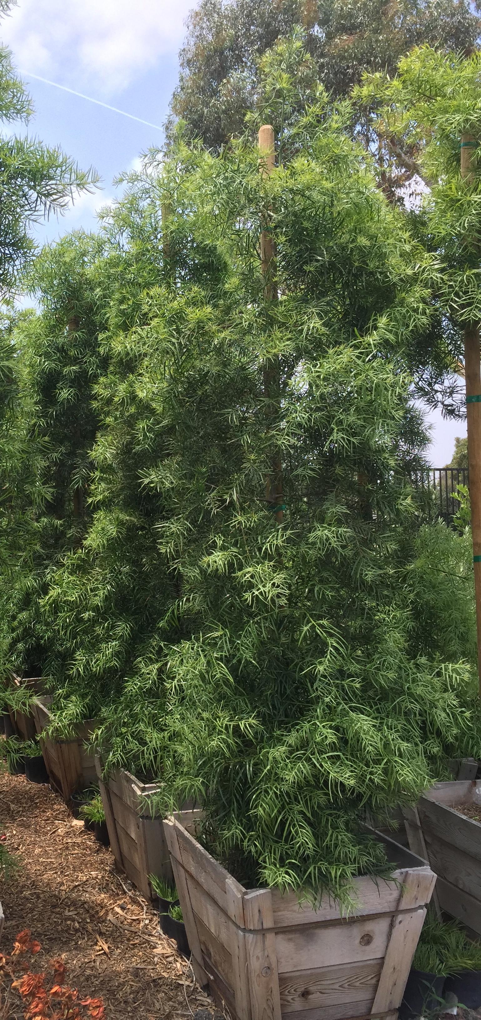"24"" box - Podocarpus Gracilior - Fern Pine"