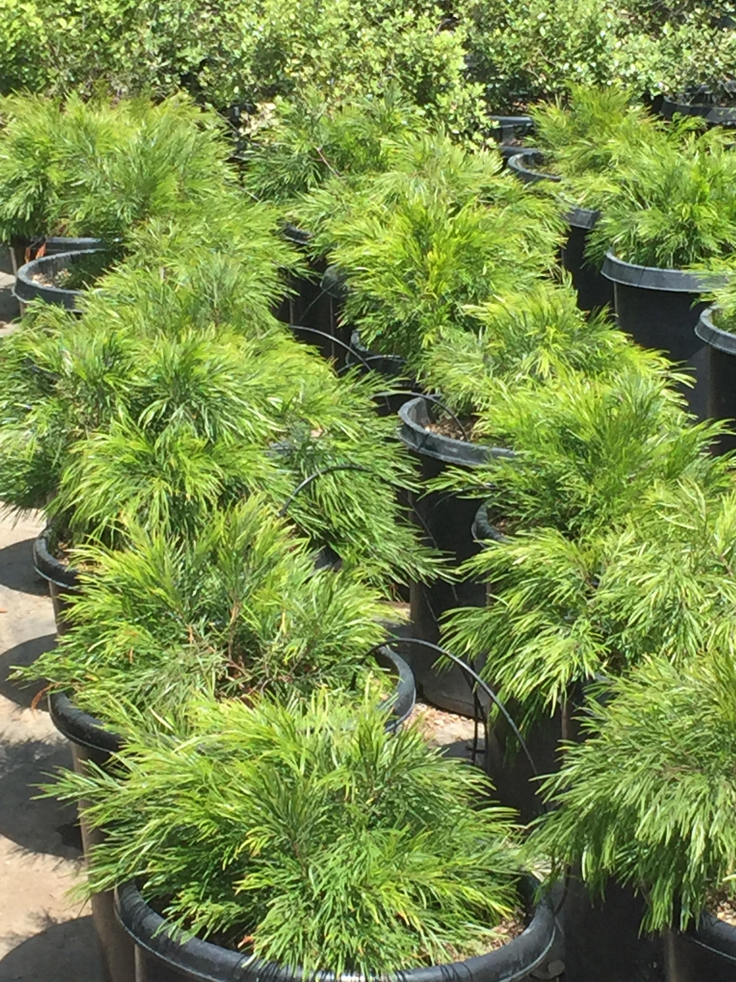 15 gal - Acacia cognata 'Cousin Itt'