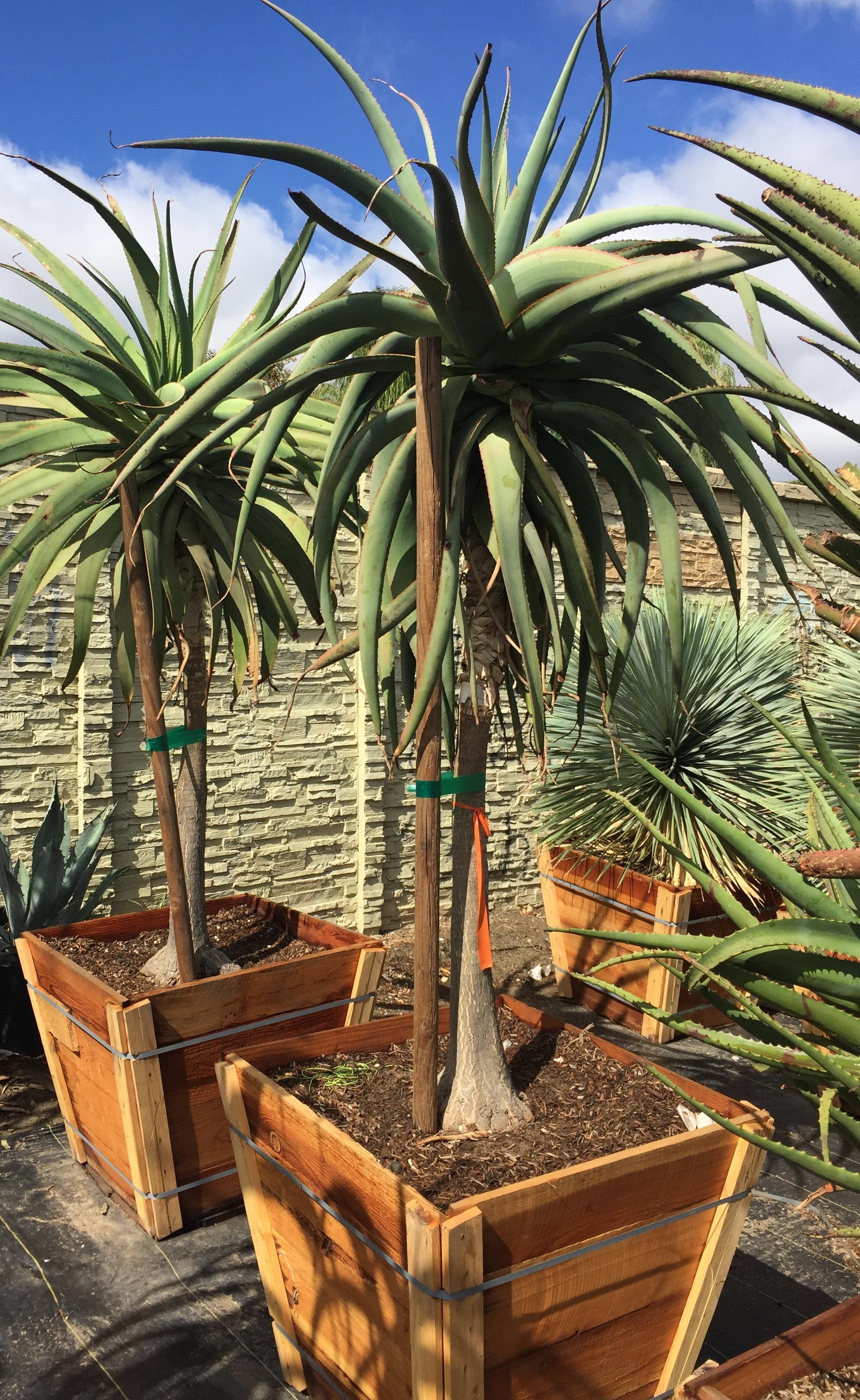 """30"""" box - Aloe vaombe - Malagasy Tree Aloe"""