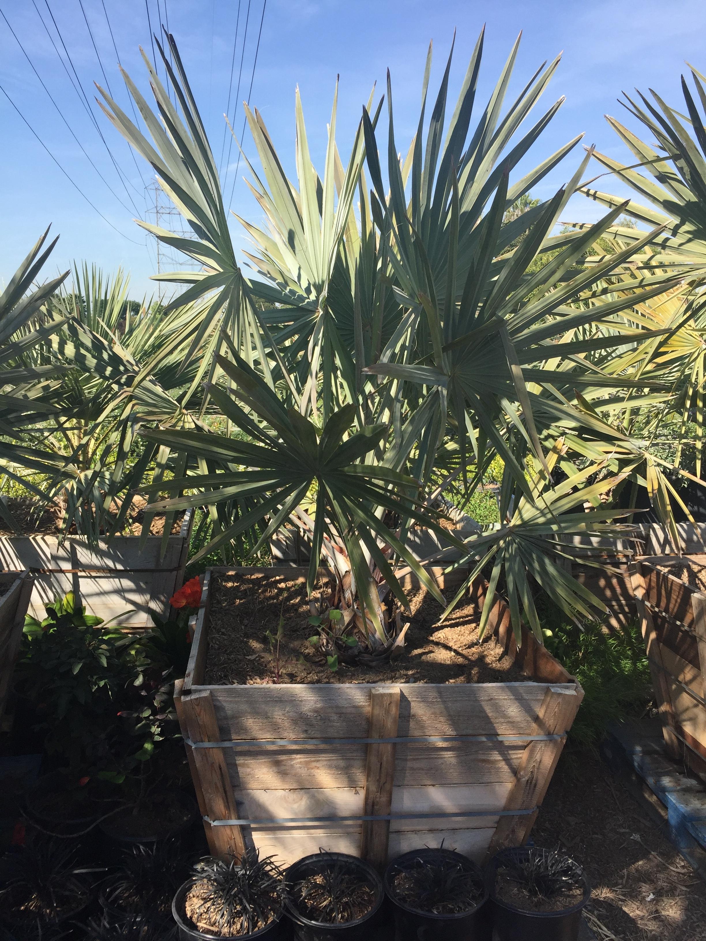 """36"""" box - Brahea armata - Mexican Blue Palm"""