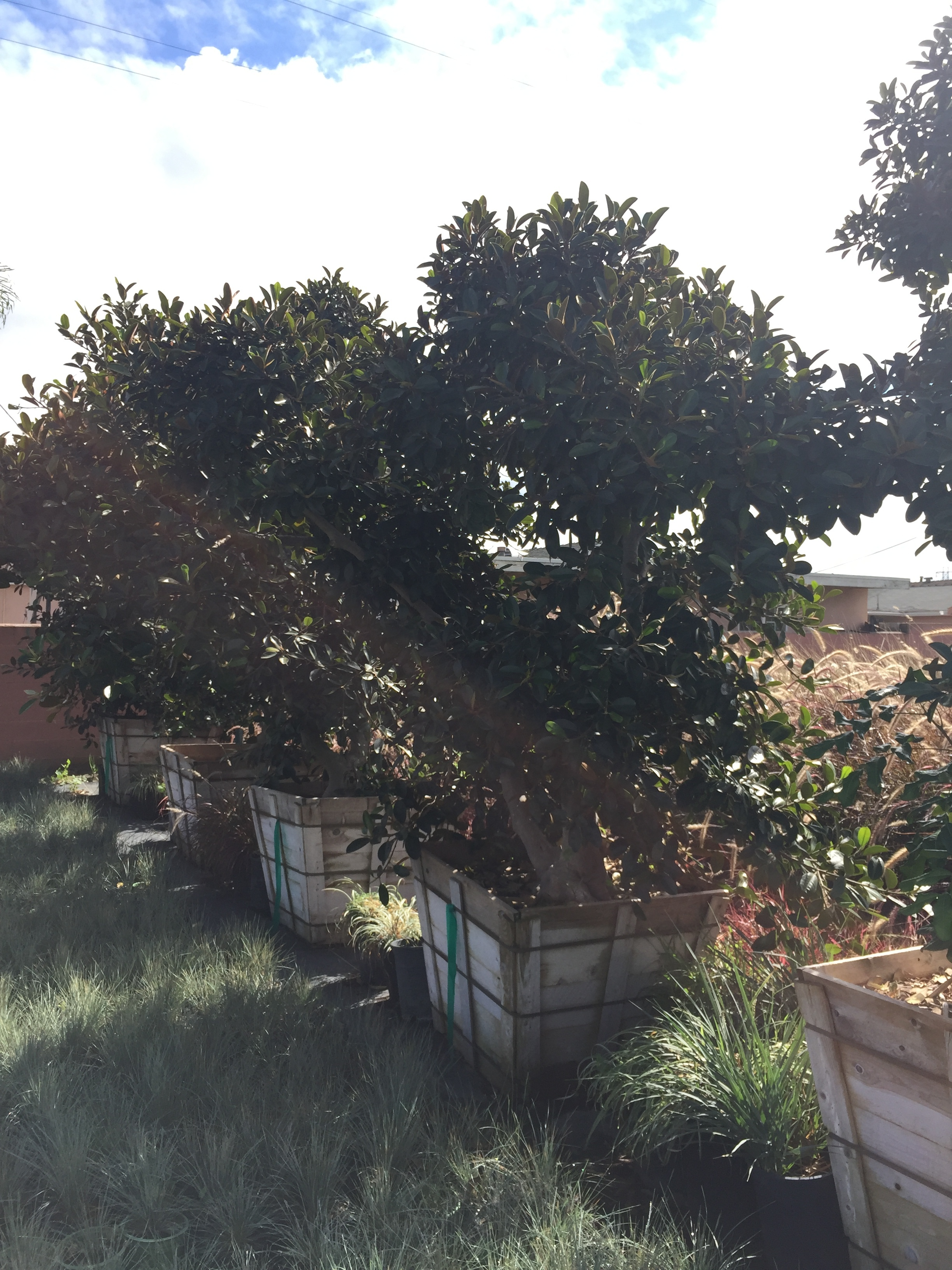 "48"" box - Ficus macrophylla - Moreton Bay Fig"