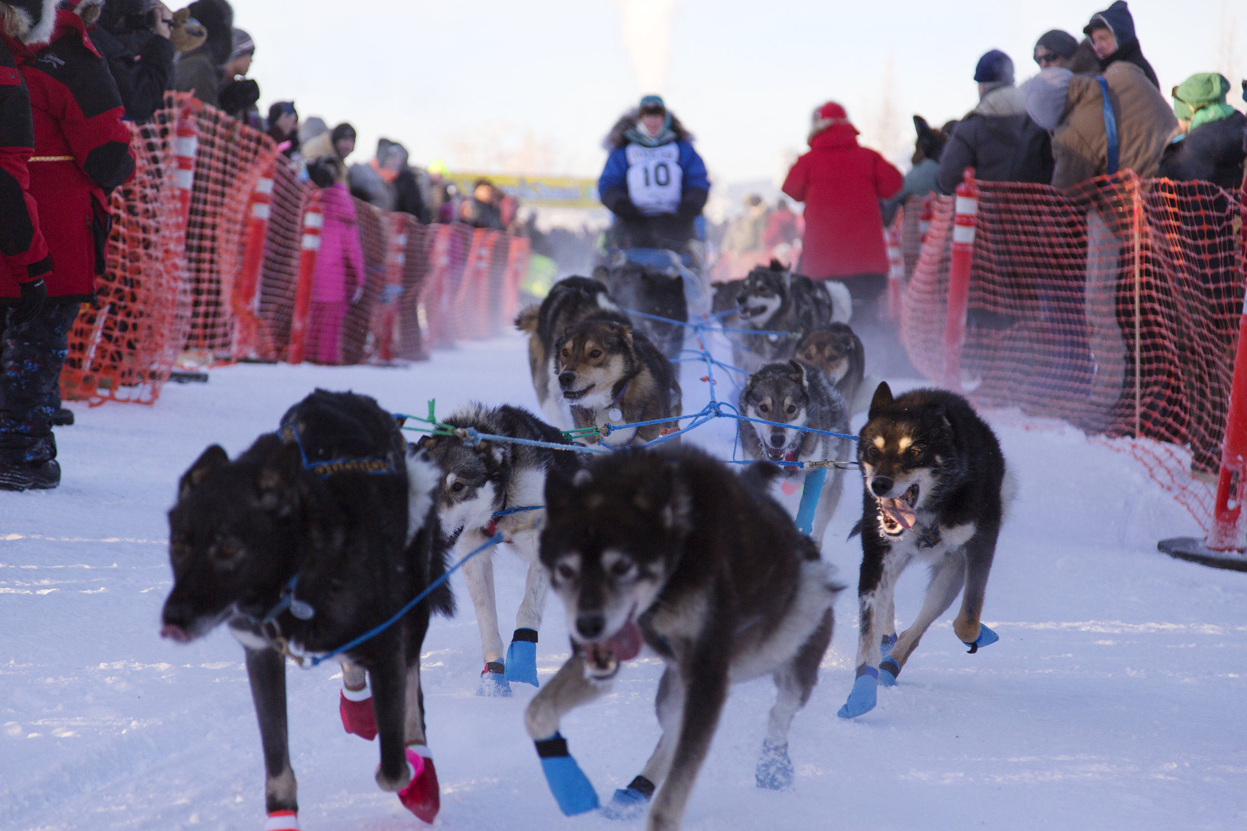 #10 Paige Drobny barrels down the chute on at the start line of the 2018 Yukon Quest in downtown Fairbanks, AK.  Drobny is a 42 year old Yukon Quest veteran. She has been running dogs for 12 years. Her kennel name is Squid Acres Kennel because she studied squid for her Master's degree. Last year in 2017, she came in 4th place overall in the Quest. (c) Sarah Manriquez 2018