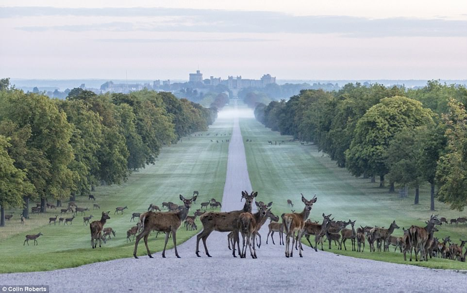 Windsor Great Park Deer.jpg