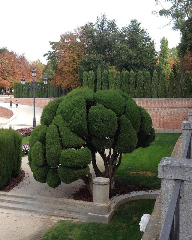Groomed tree in Madrid