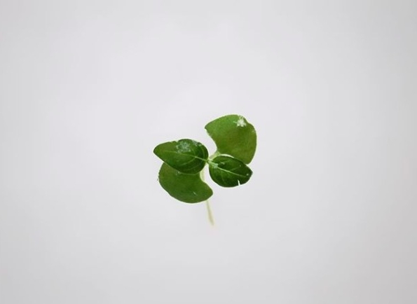 Micro lemon basil sprout. Identifiable by its pale green stem and four tiny bright leaves.