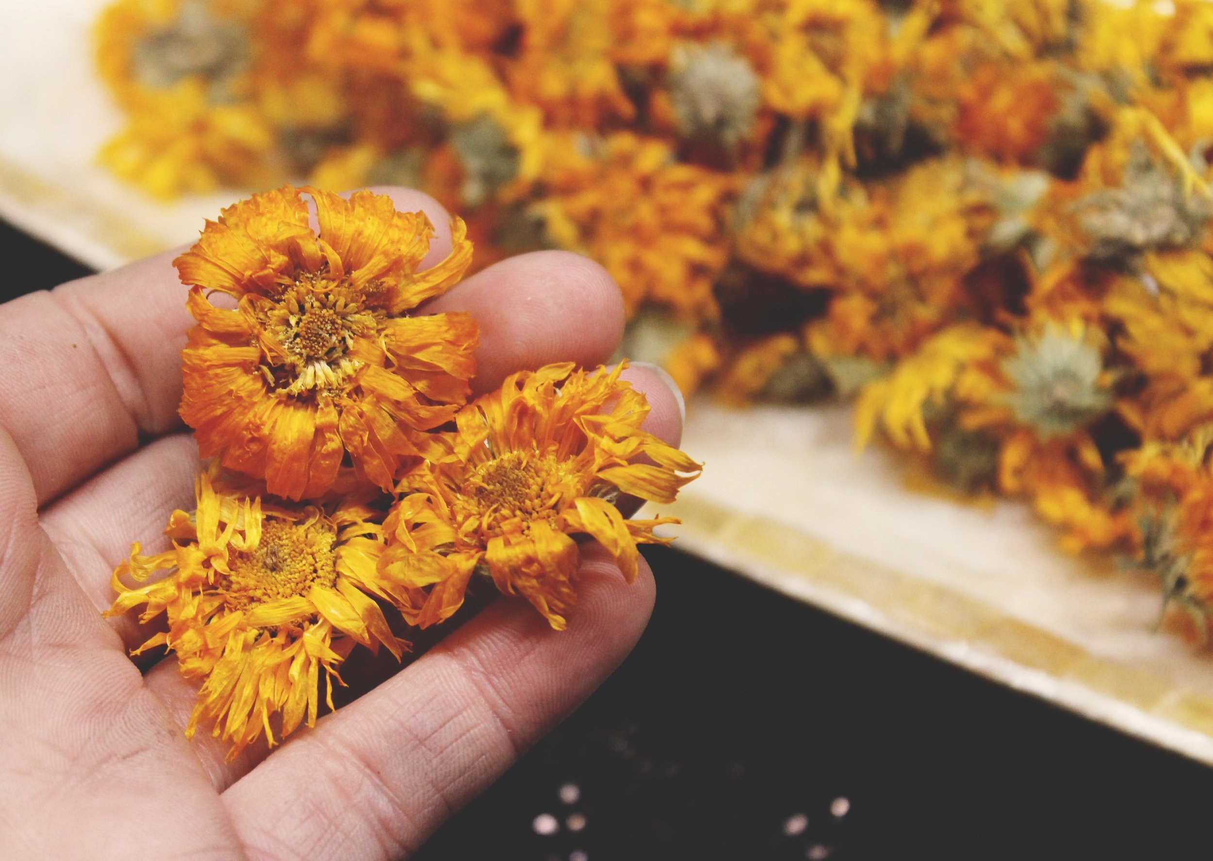 Gather 3-6 cups of full dried calendula blossoms