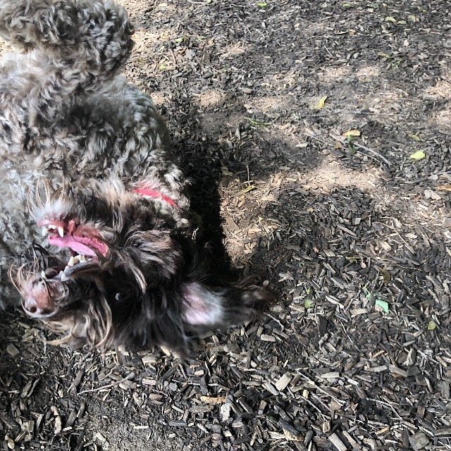 I spy with my little eye a doodly dog getting a wood-chip back rug. Do you see her too? #toronto_insta #torontodogwalker #dogwalkers #torontodoodle #doodlesofinstagram #dood #doodles2love #feelingfrisky #doodleloversofig #doodlelove #thesix #ramsdenpark #forcefree #positivereinforcement