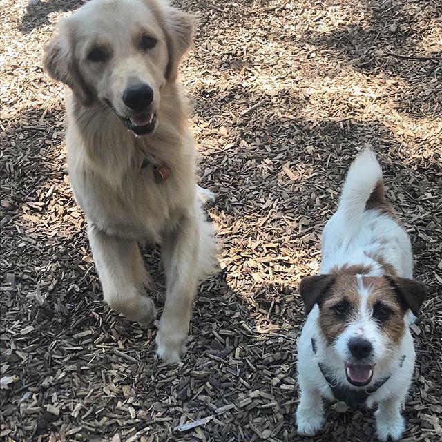 Oaks, Monkey ... just 🛑  You're. Too. Cute. Agreed?  #torontodogs #torontodogwalker #wirehairedjackrussell #jackrussellterrier #jacks #jackrusselllovers #jackrussellfan #goldenretriever #goldenretrievers #goldens #dogfriends #offleash #positivereinforcement #thesix #dogwalkersofig #toronto_insta #mustlovedogs #adorabledogs #toocute #canadiandog #retrievergram #jackrusselllife