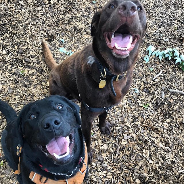 The Big Lab-Beau-Skis! Milton and Best Friend Beau looking a weeeee bit excited  on their walk today 👀🥰 Love these labs! #torontodogs #torontodogwalker #labradorretriever #blacklabpuppy #chocolatelab #labsofinsta #rescuedog #rescuedogsrule #offleash #thesix #toronto_insta #mustlovedogs #positivereinforcement #smile😊 #smileydog #dogwalkersofinstagram #labradorsofinstagram