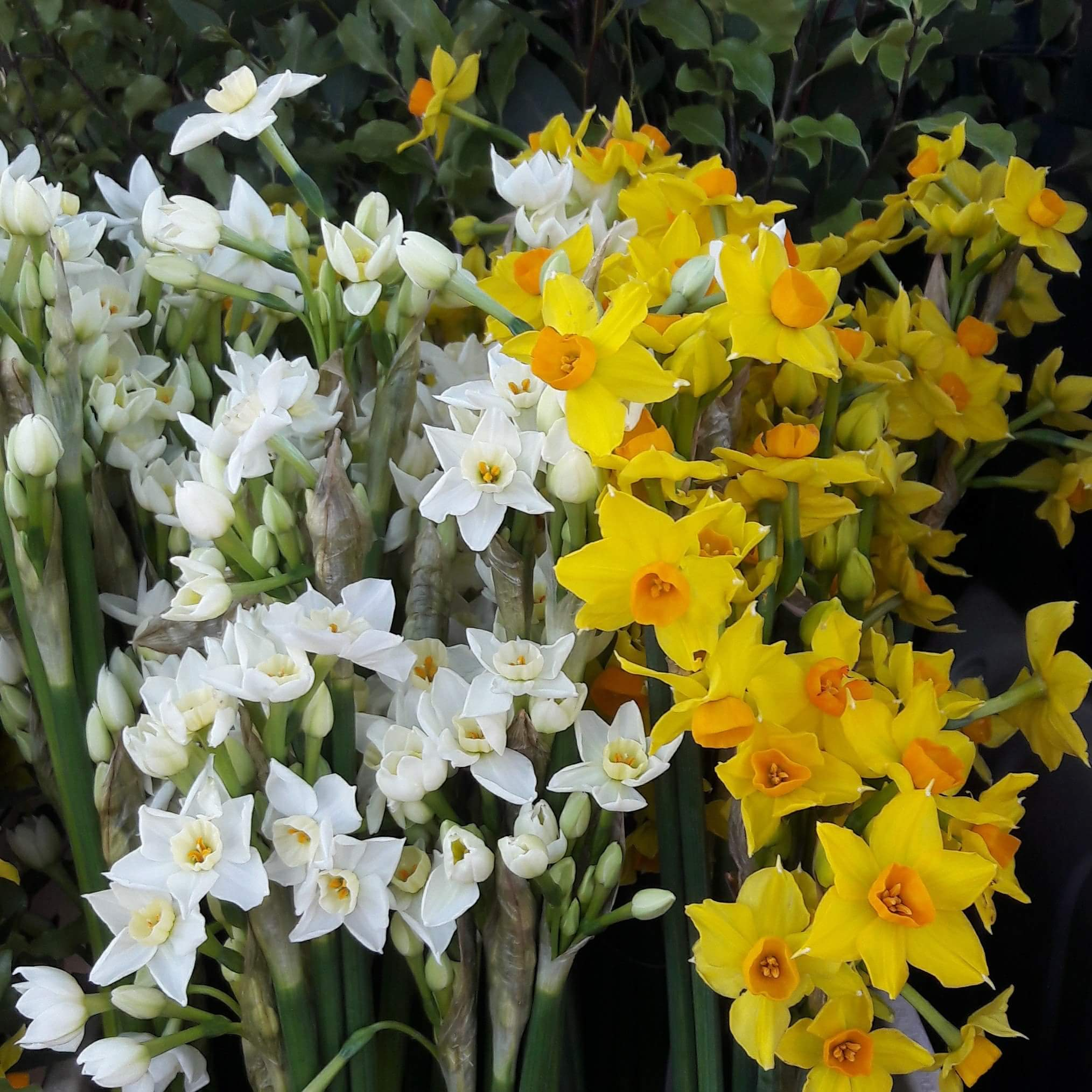 Sweetly scented early narcissus