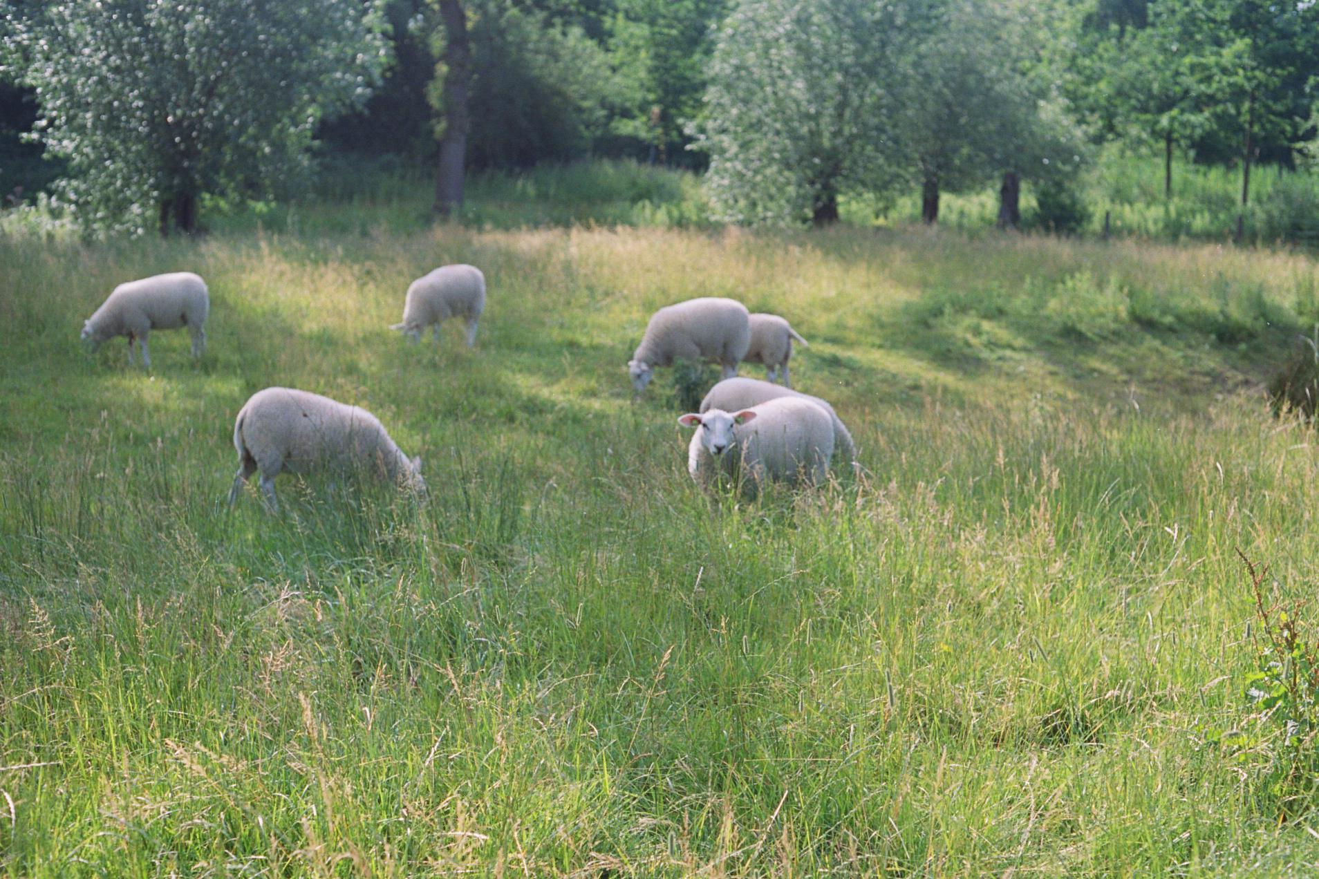 Sheep in Utrecht, Summer 2017