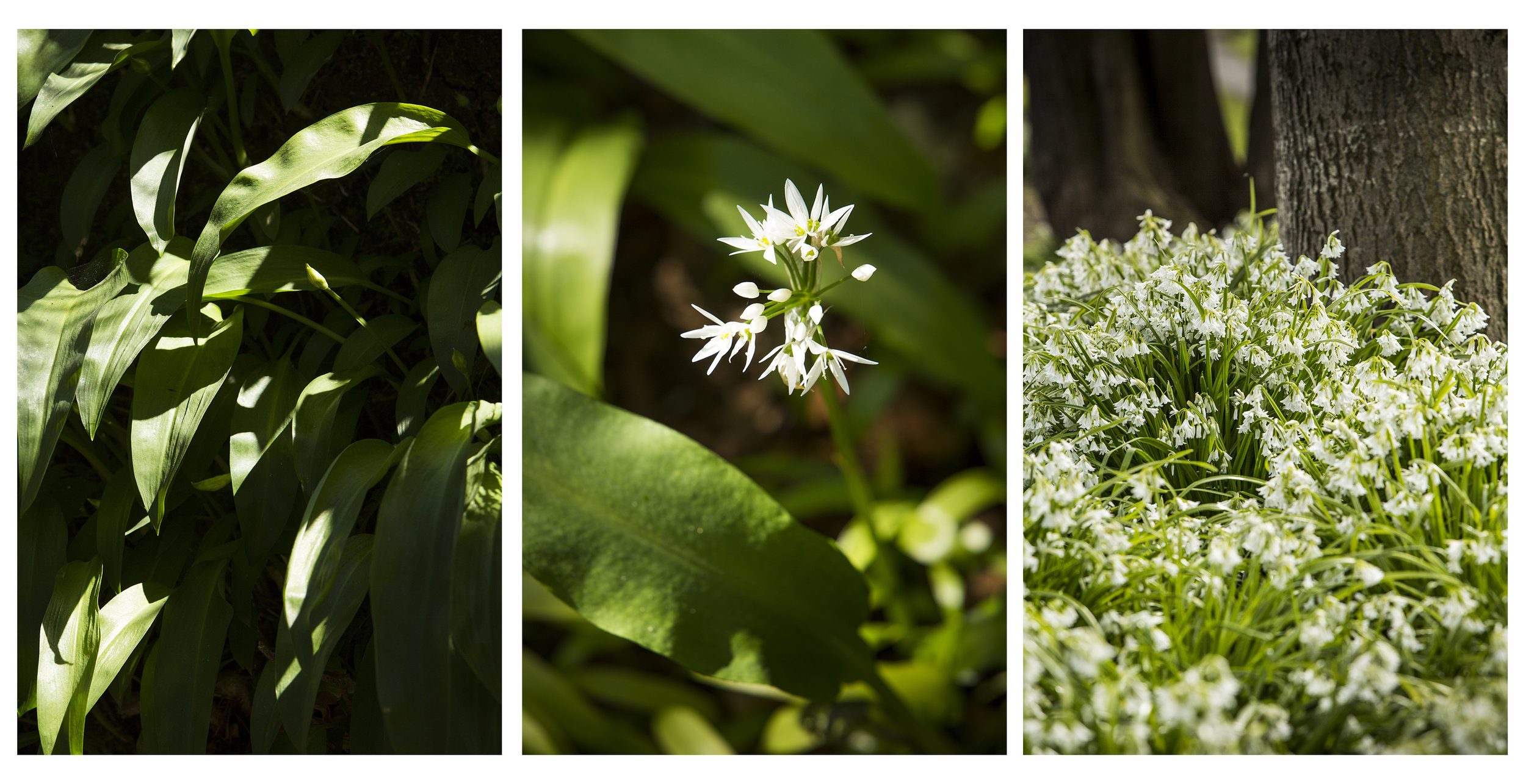 You will see it growing wild on the shady floor of woods, along pathways and in gardens.  There are two types of wild garlic commonly found here in Ireland and across Europe; Allium ursinum , native to Ireland, is also known as ramsoms, or in Irish  creamh . There is also the naturalised  Allium sativum , also known as three-cornered leek, or  glaschreamh in Irish. It's shown in the picture on the right which was taken at the Grand Canal near Mount Street in Dublin City.  Working with Food Stylist Johan van der Merwe in a wood in Wicklow, we collected a couple of handfuls of wild garlic