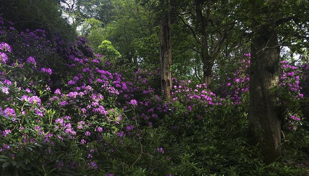 Sun dappled rhododendron of Howth Head, Howth, Dublin, Ireland.