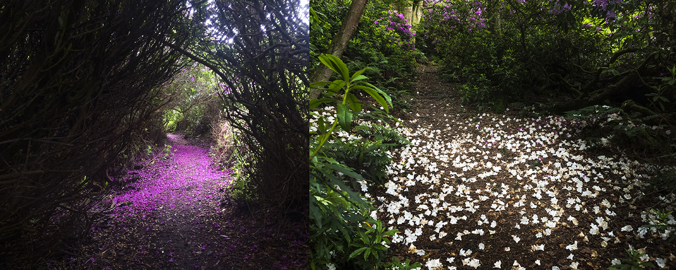 Footpaths are made magical with a cover of petals from the spent flowers.