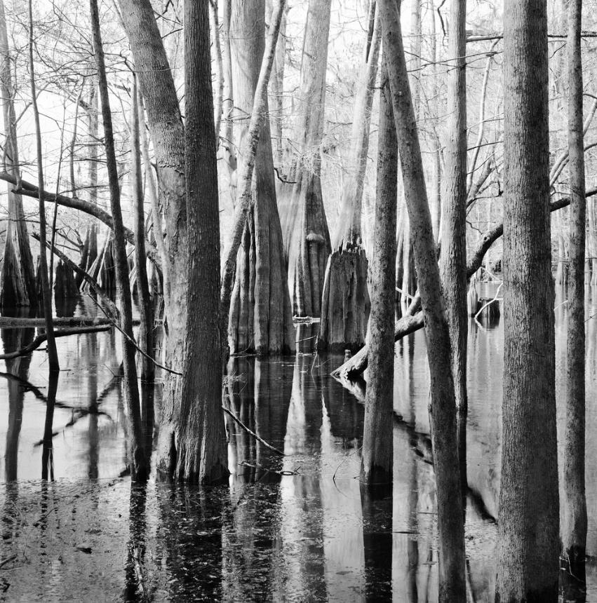 Cypress Trees, Santa Fe River © Benjamin Dimmitt