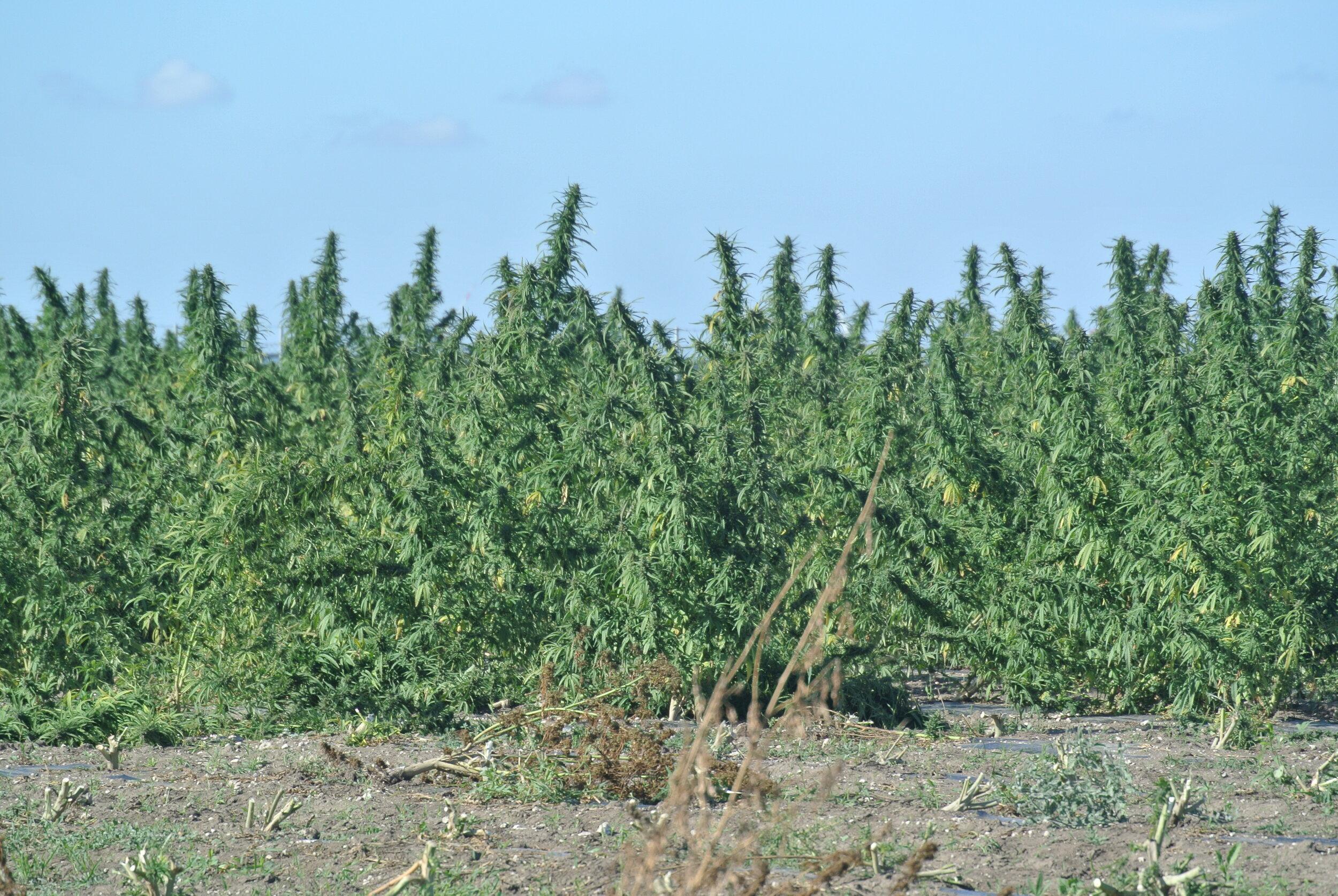 The marijuana field, ready for harvest. Foggia, Italy. 8 October 2019. ©Pamela Kerpius