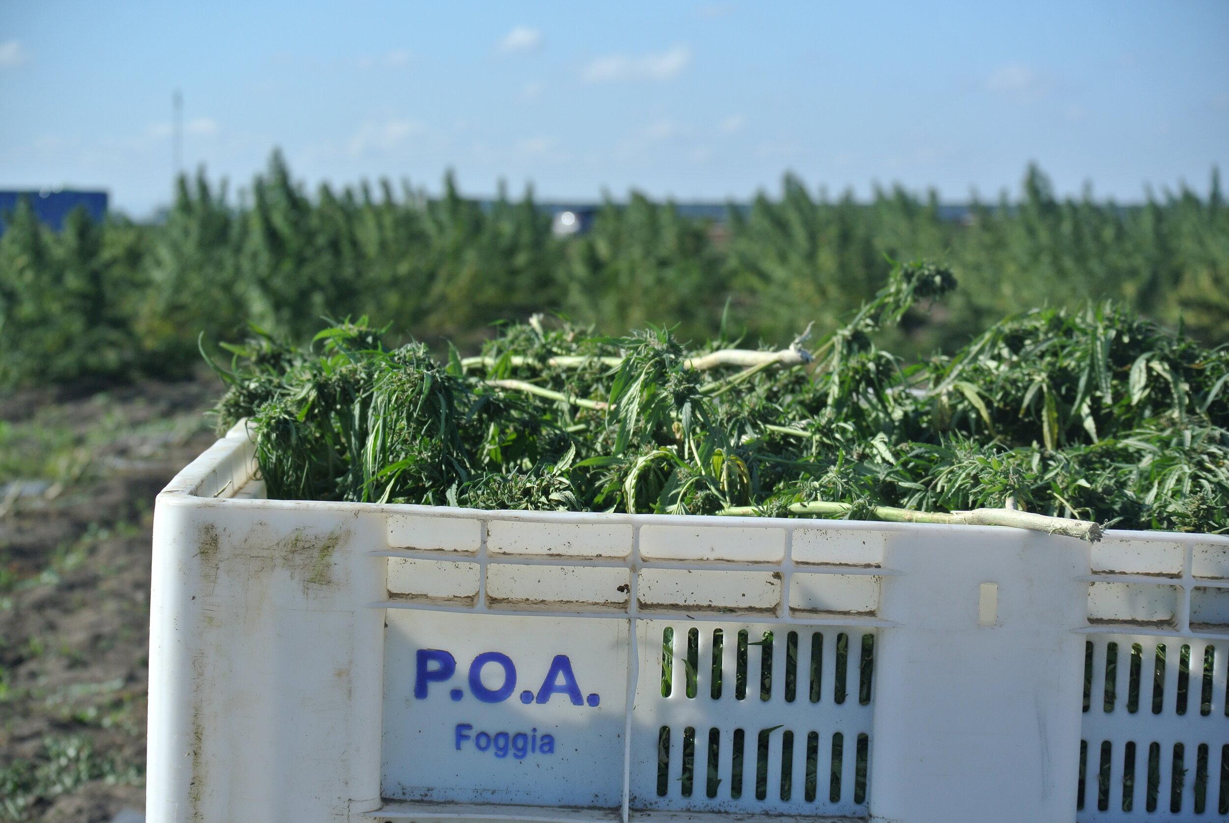 Migrant-harvested marijuana, in Foggia, Italy. 8 October 2019. ©Pamela Kerpius
