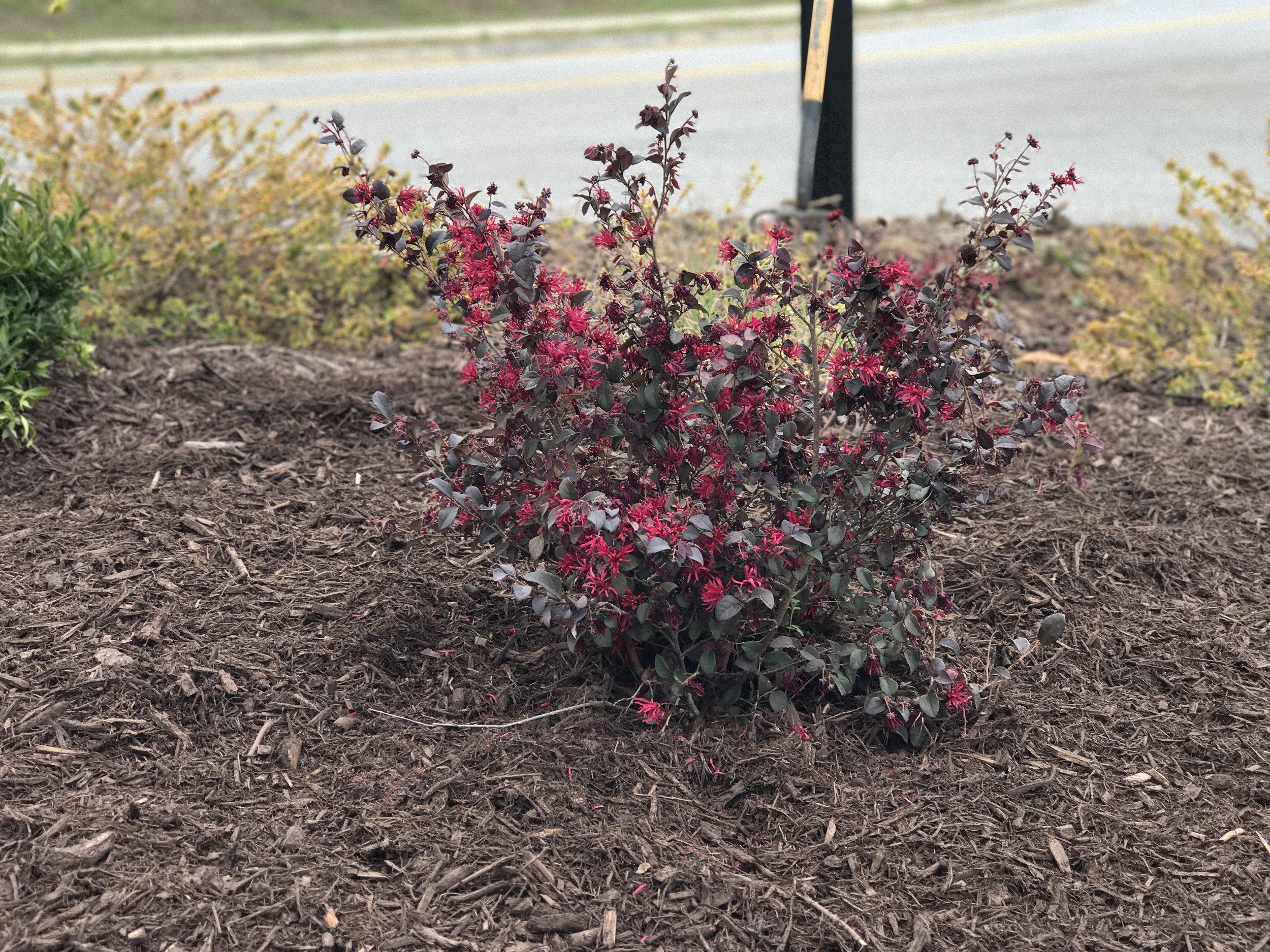 Correct installation . Mulch surrounds shrub.