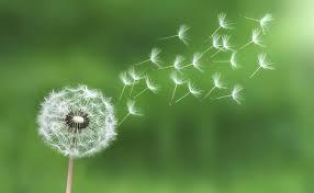 #1 -Dandelion.jpg