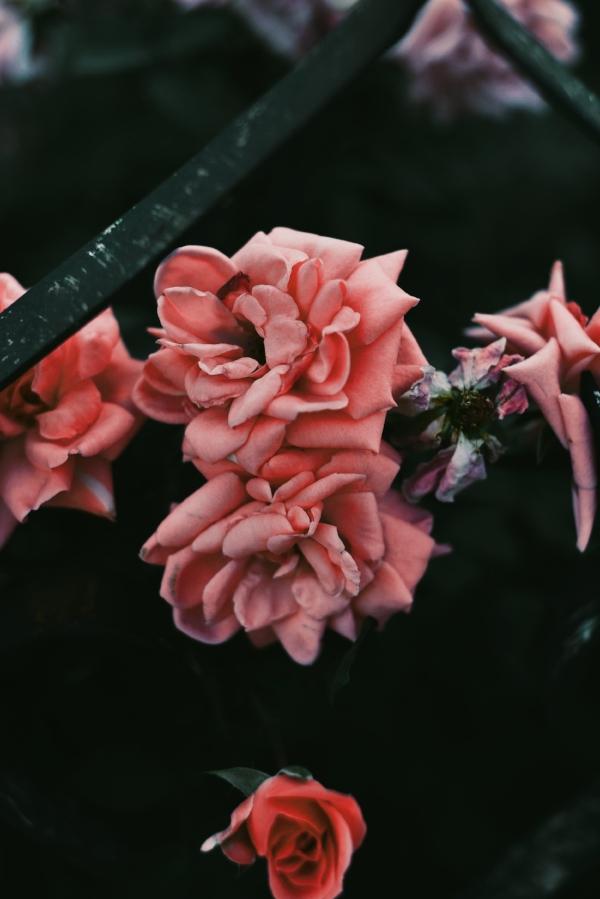 Moon Medicine pink roses.jpg