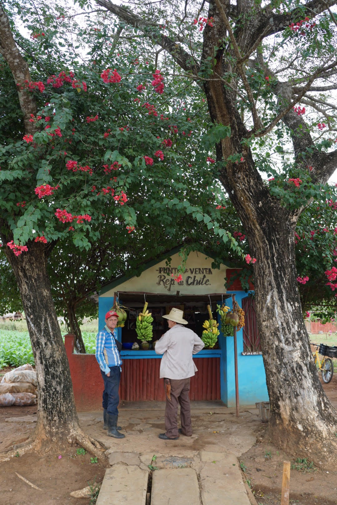 Pitstop for bananas in the Valle de Viñales