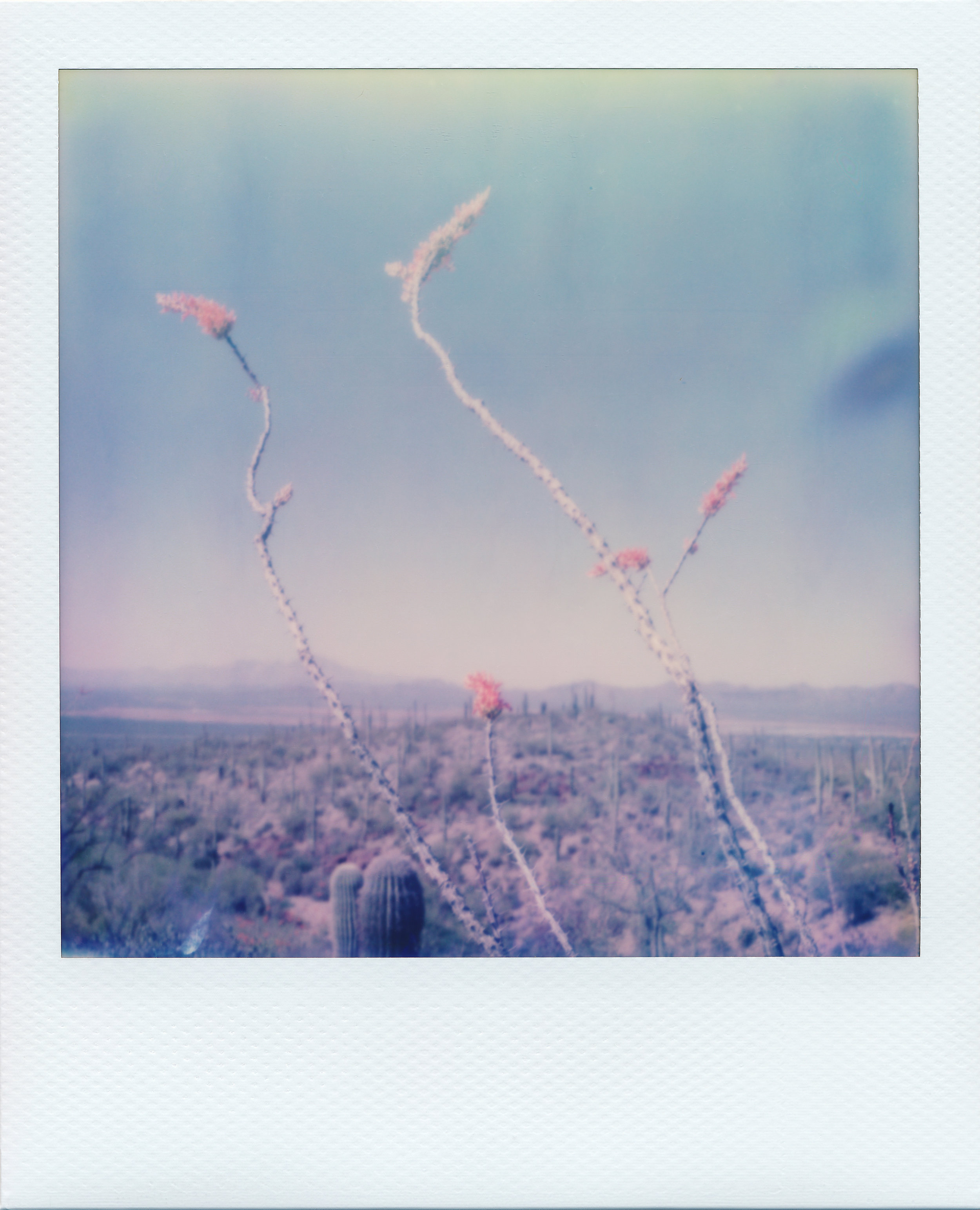 Desert Flowers  comprises of over 150 Polaroids taken over the course of a month long roadtrip through the Sonoran, Chihuahuan, and Mojave desert, drawing a parallel between desert ecology and queer Southwestern youth.