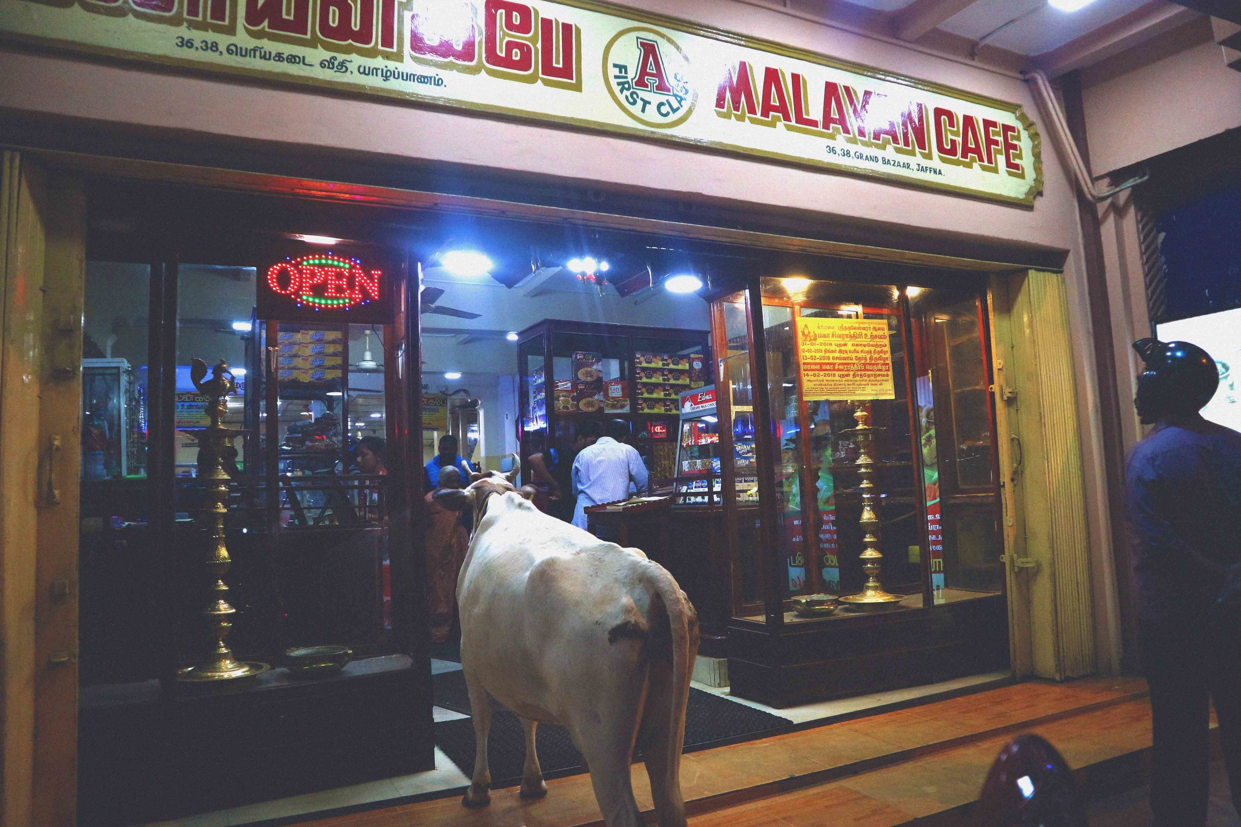 Naughty cow interrupting dinner service at Malayan Cafe