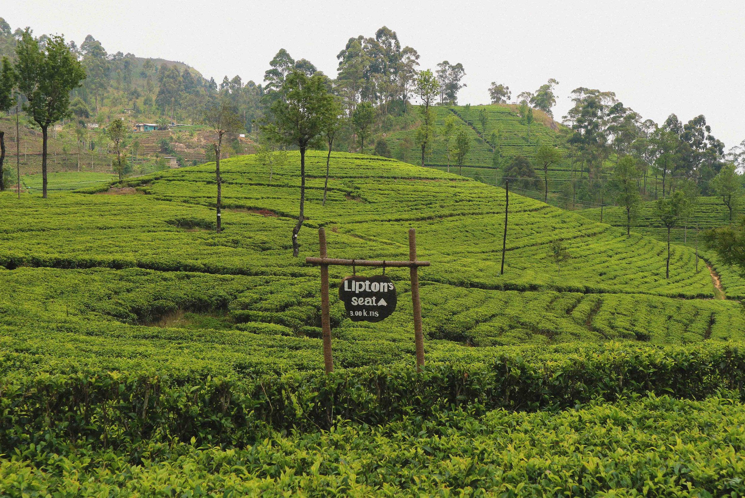 Lipton's tea plantation near Hapatule