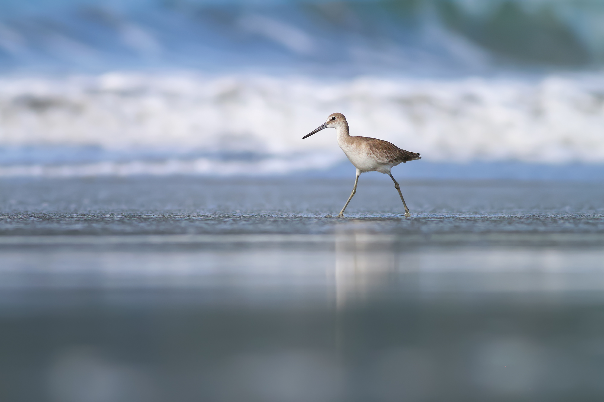 Willet-JPEG_web.jpg