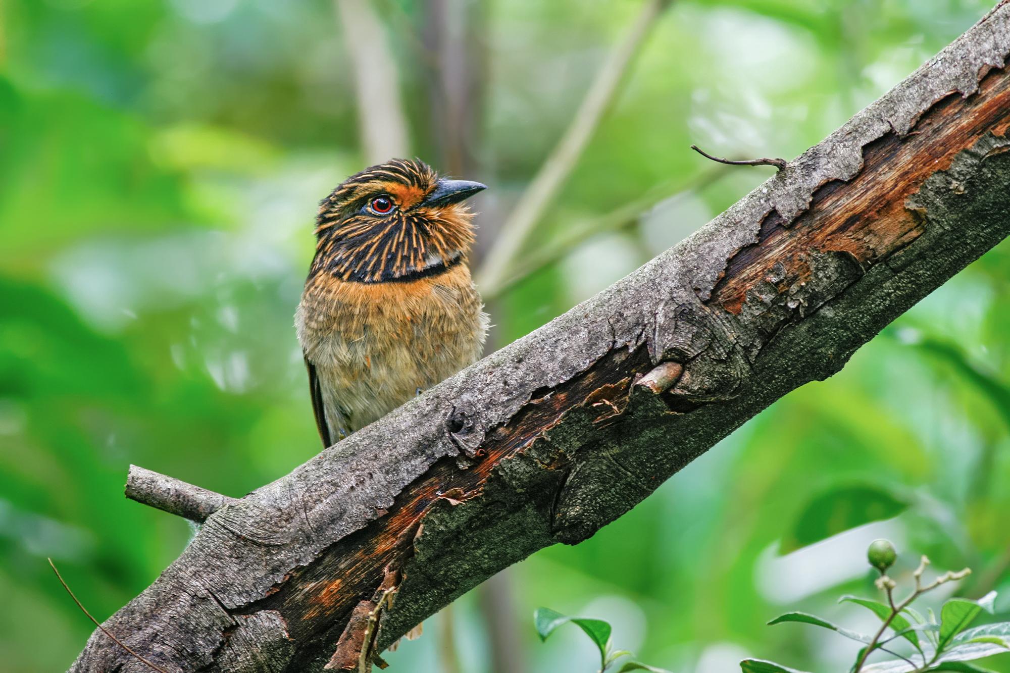 Puffbird JPEG_web.jpg