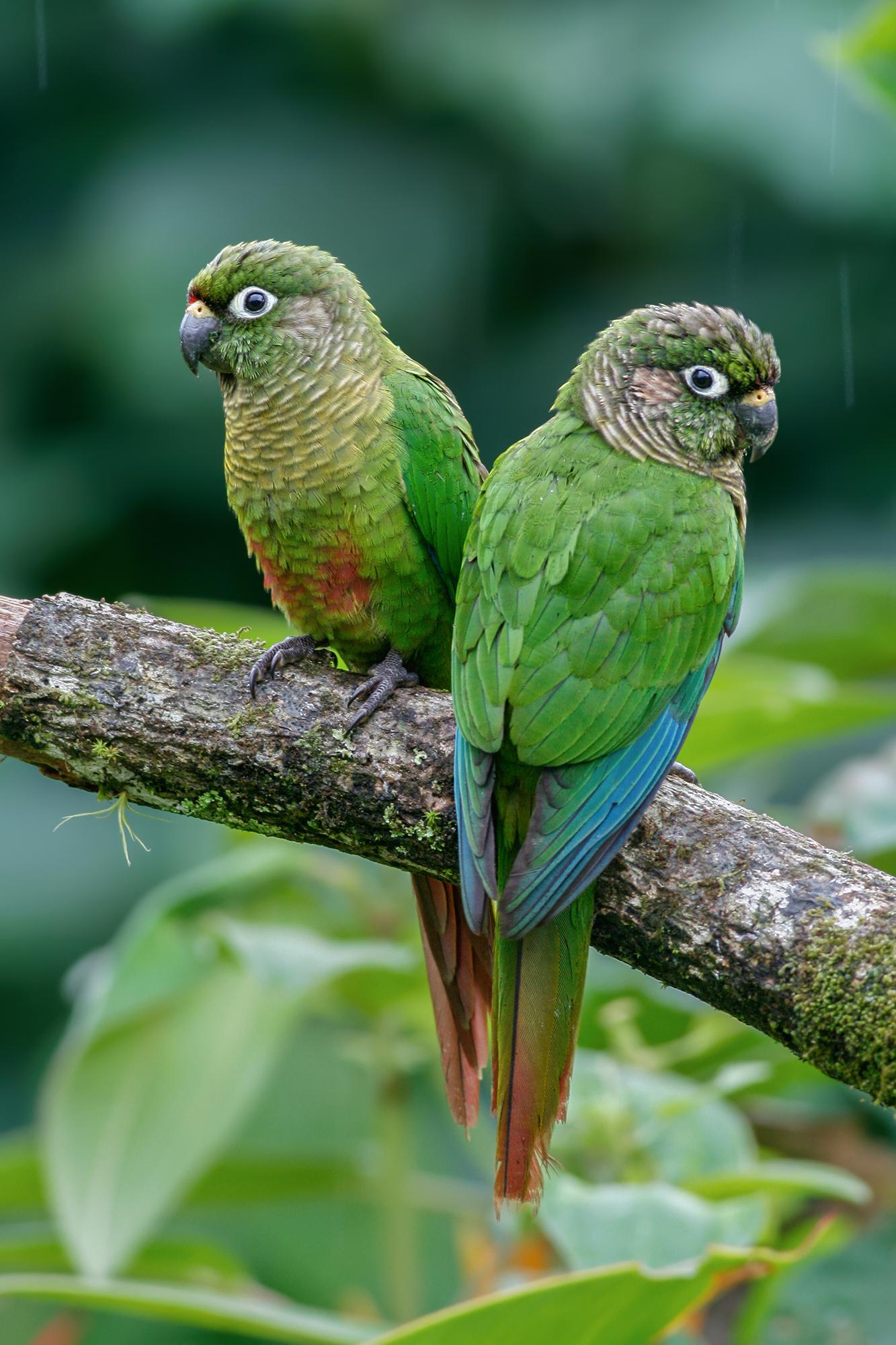 Maroon-bellied Parakeet JPEG_web.jpg