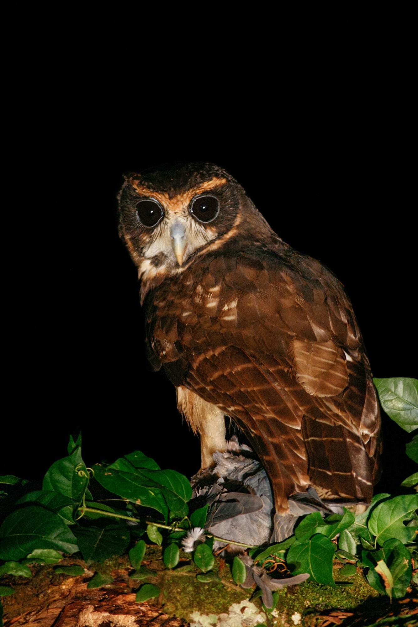 Tawny-browed Owl JPEG_web.jpg