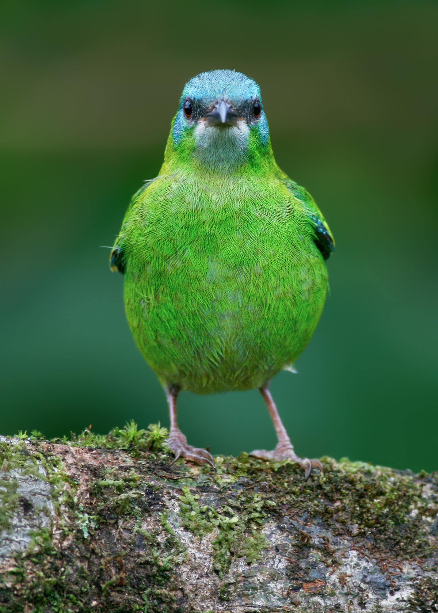 Blue Dacnis JPEG_web.jpg