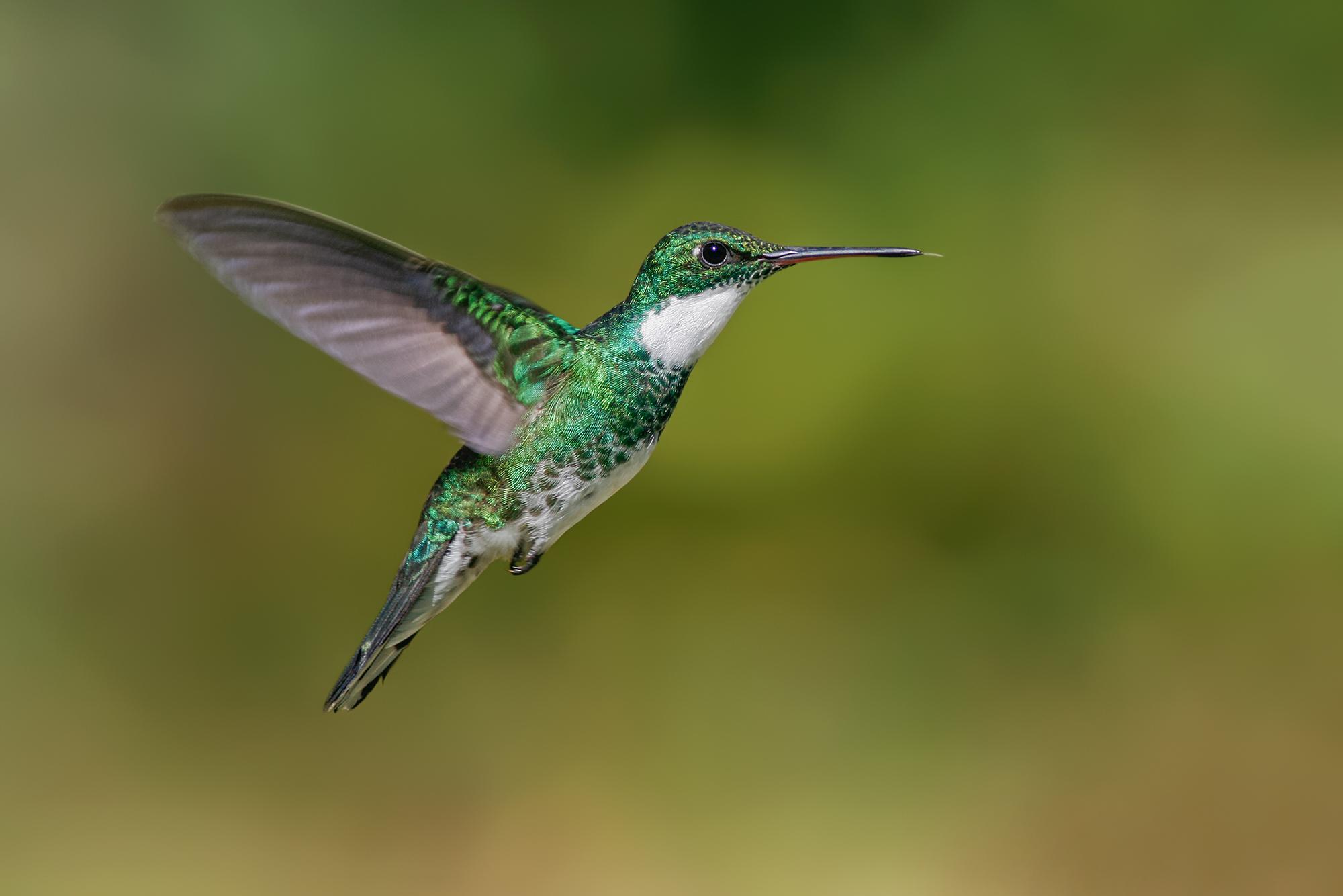 White-throated Hummingbird JPEG_web.jpg