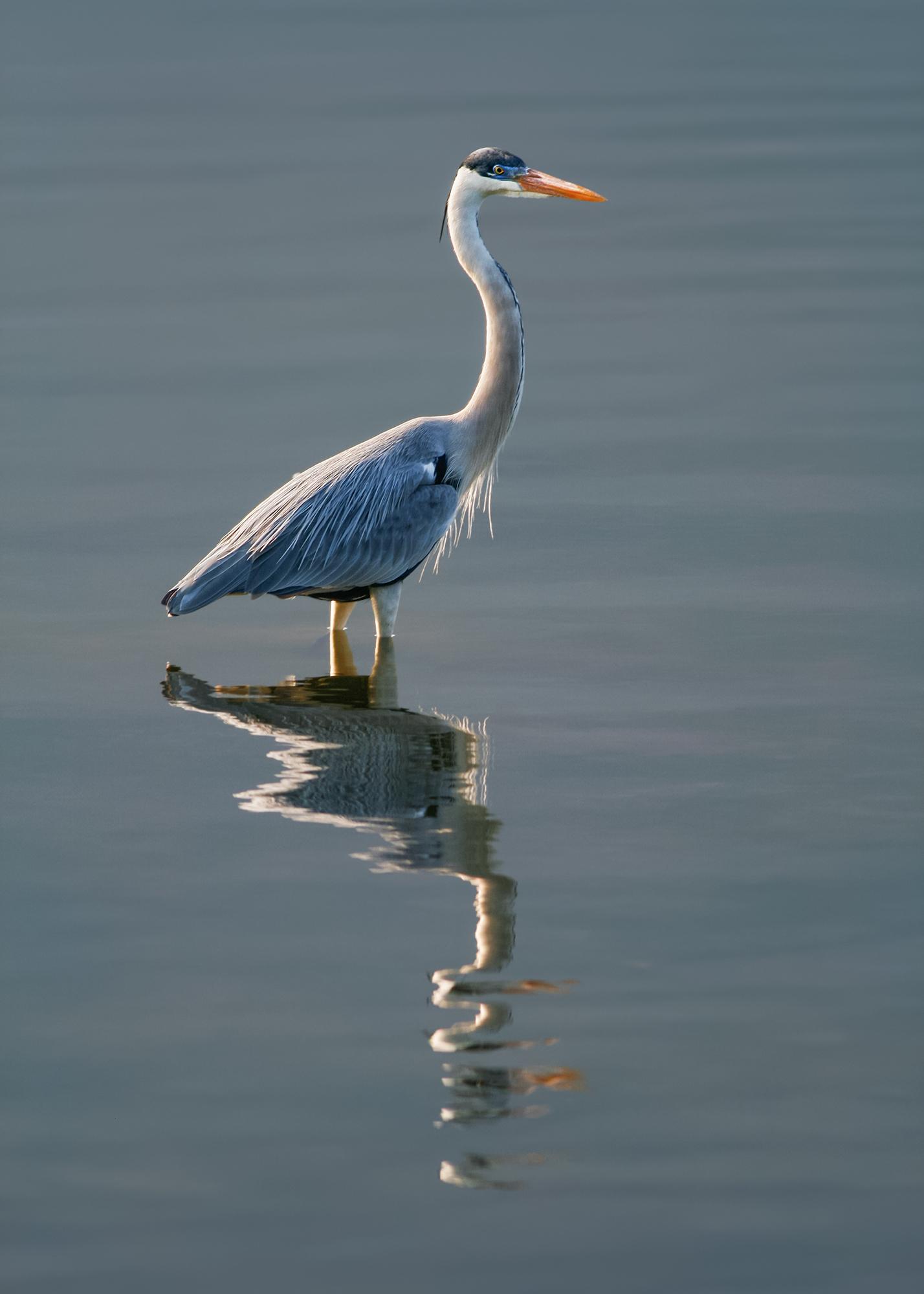 Cocoi Heron JPEG_web.jpg