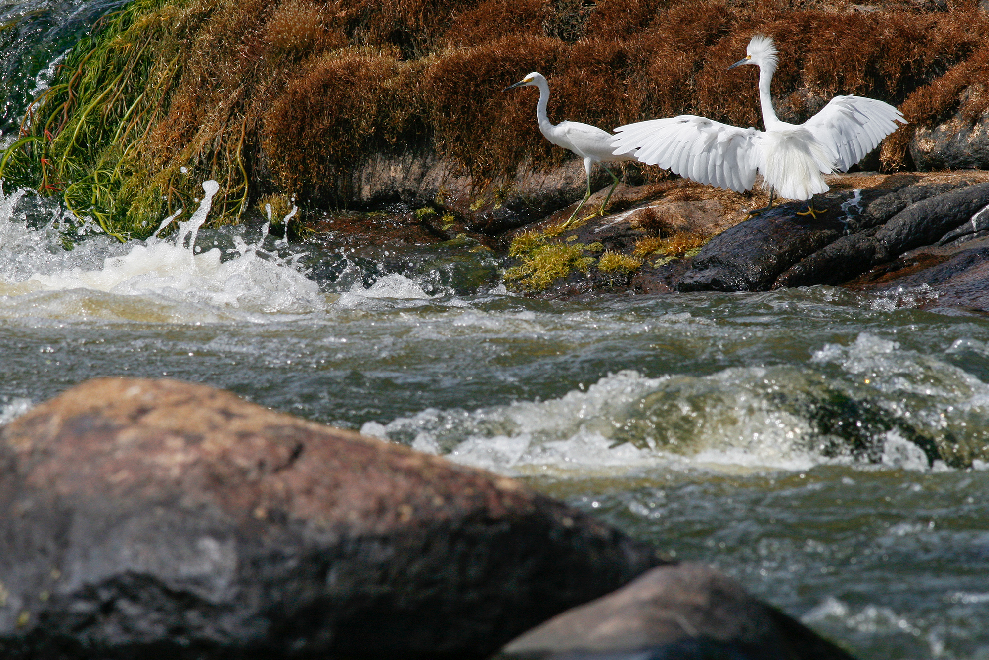 Snowy Egrets JPEG_web.jpg