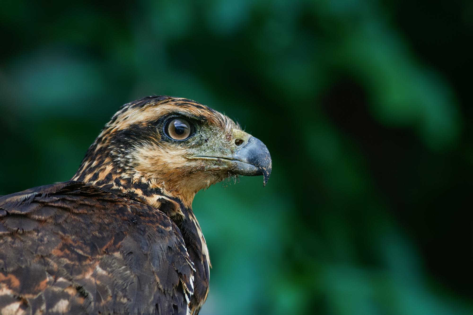 Common Black-hawk JPEG_web.jpg