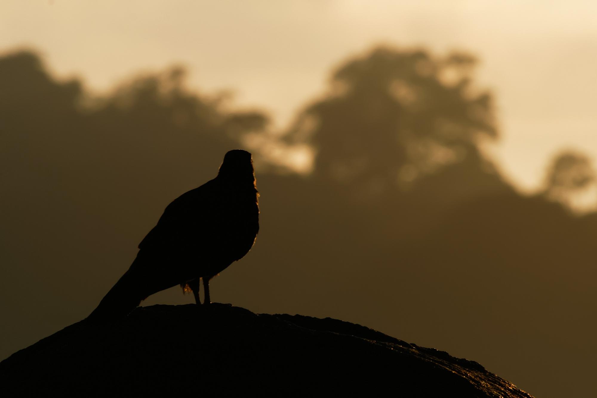 Black Vulture JPEG_web.jpg