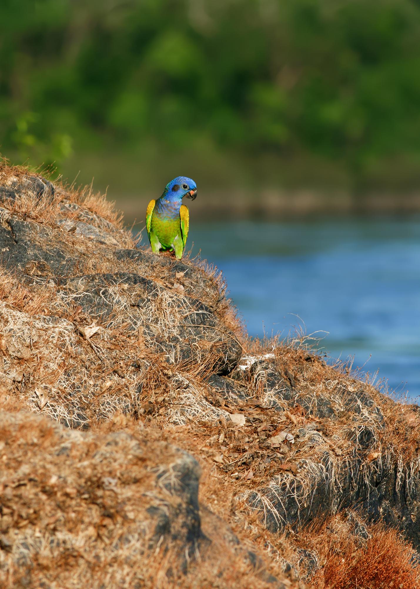 Blue-headed Parrot JPEG_web 2.jpg