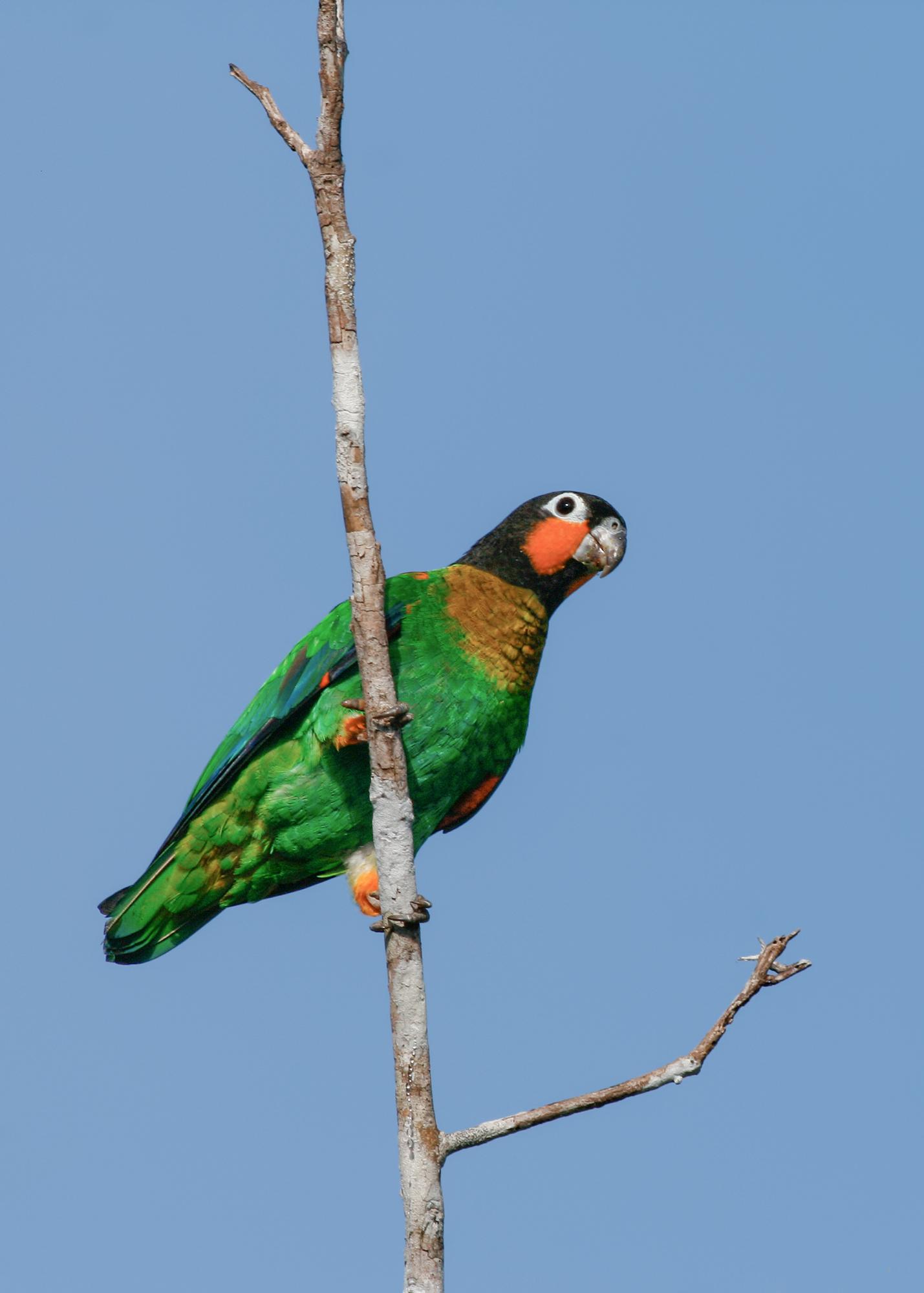 Orange-cheeked Parrot JPEG_web.jpg