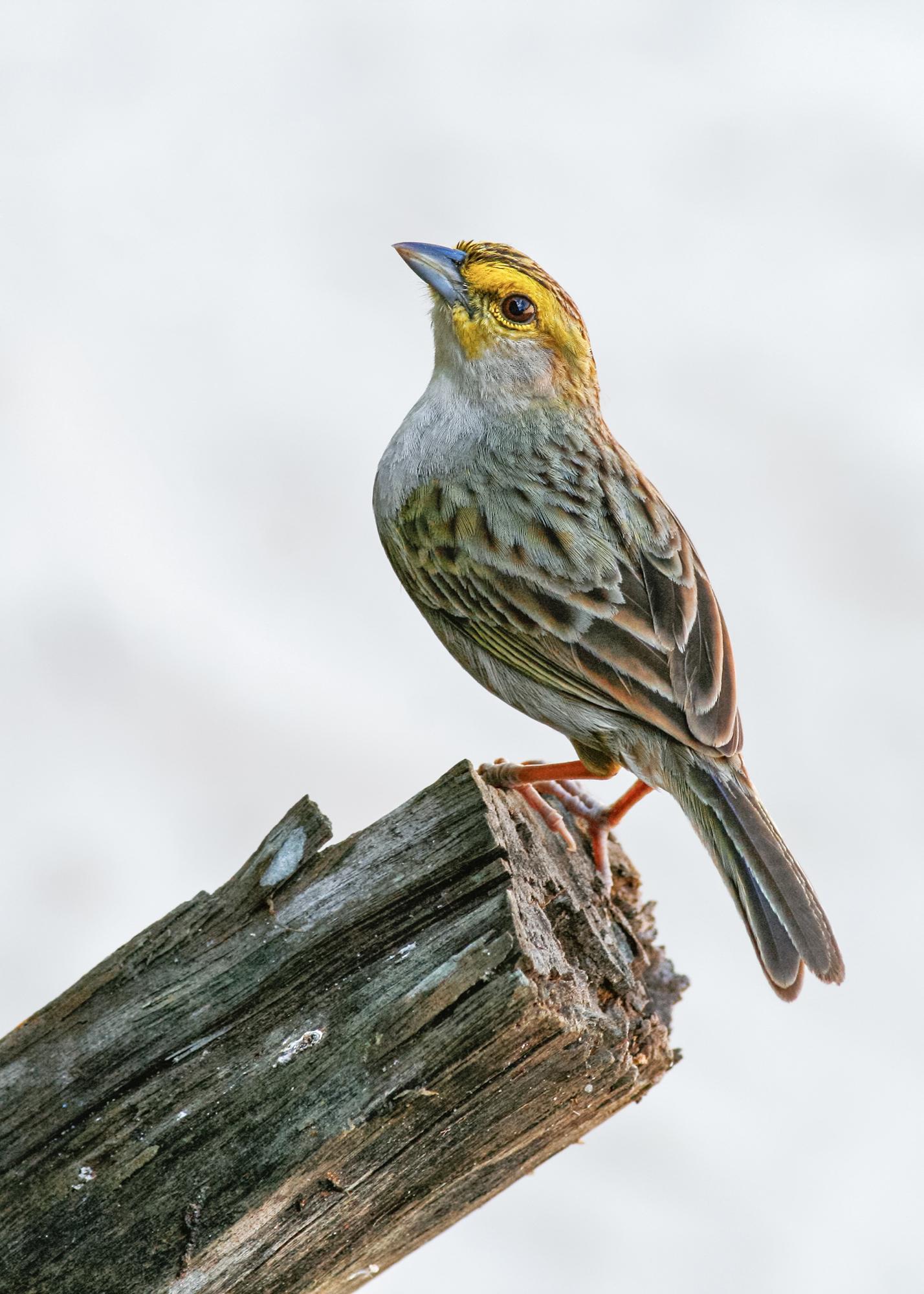 Yellow-browed Sparrow JPEG_web 2.jpg
