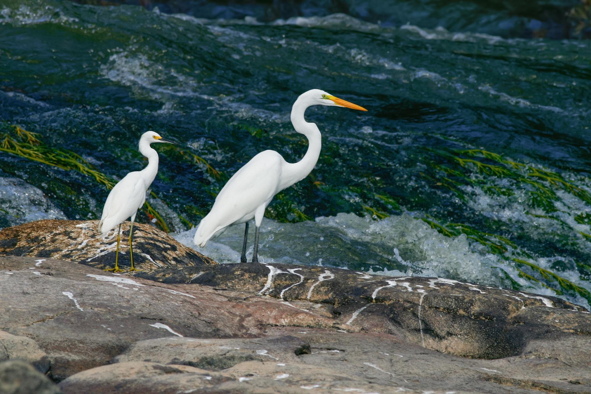 Egrets JPEG_web 2.jpg