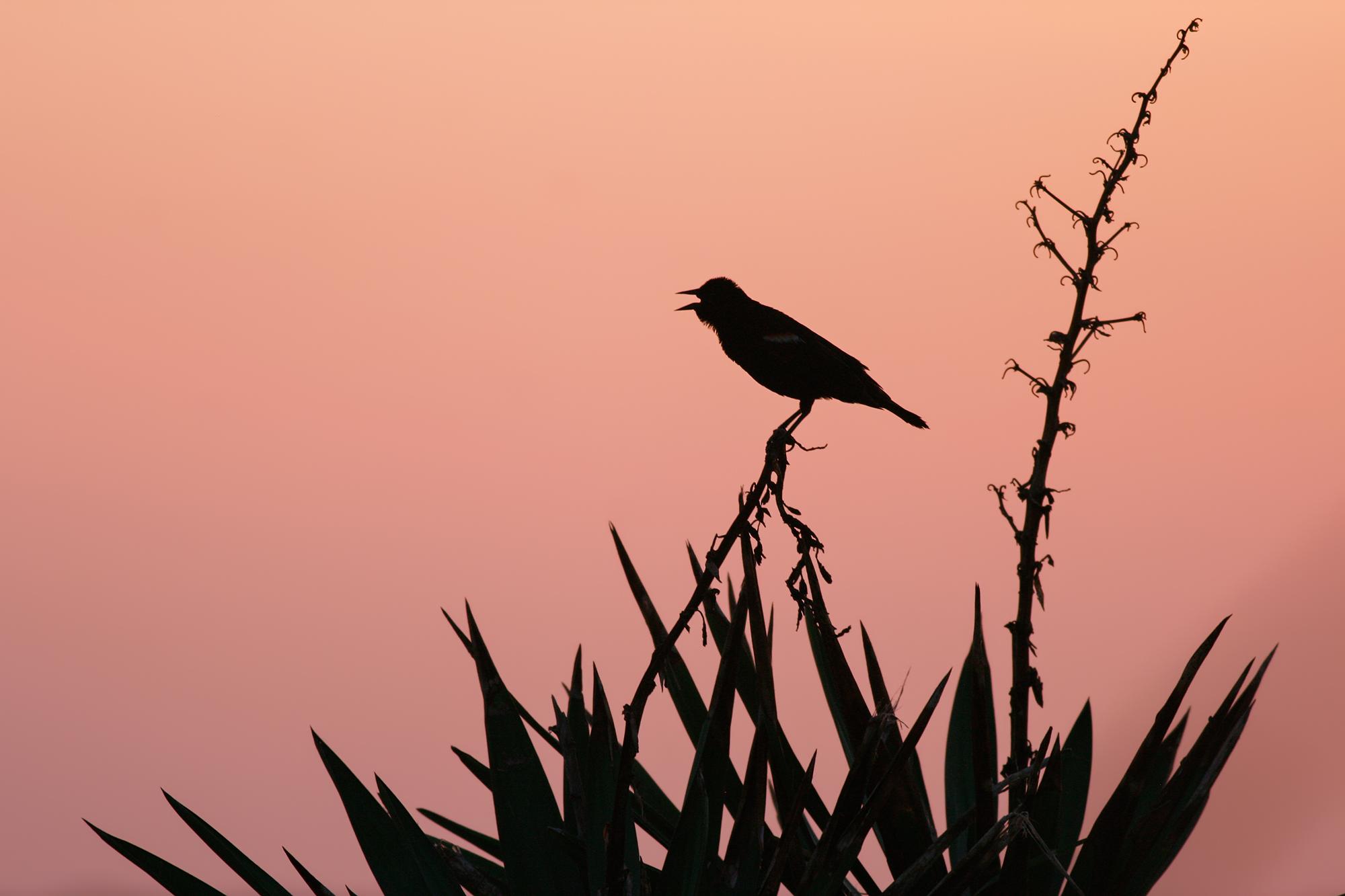 Red-winged-Blackbird-JPEG_web.jpg
