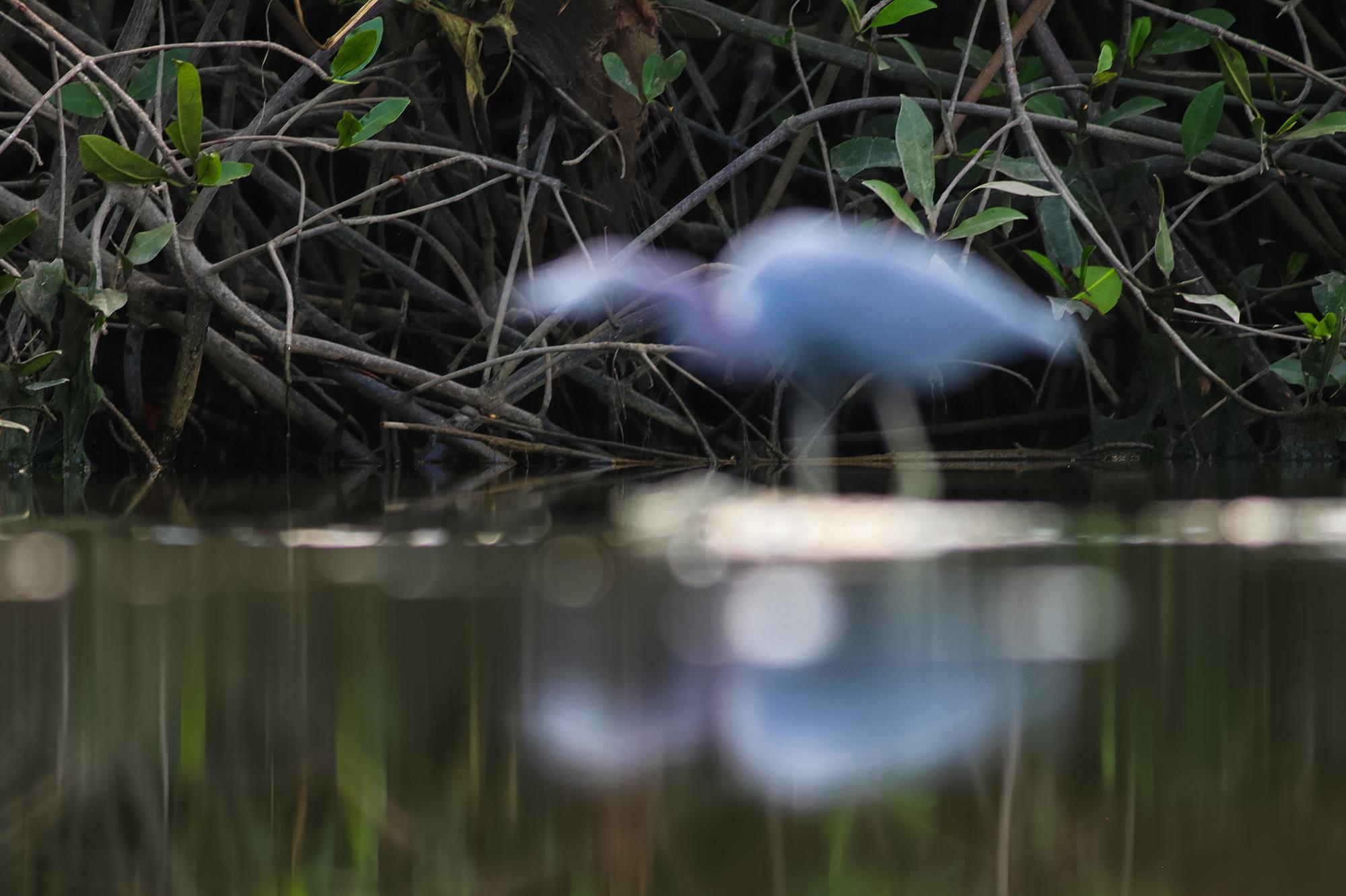 Little-Blue-Heron-JPEG_web 6.jpg